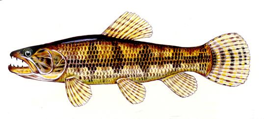 Resultado de imagem para peixe traira