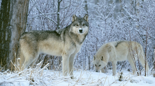 How Do The Wolves Handle The Cold? (Video)