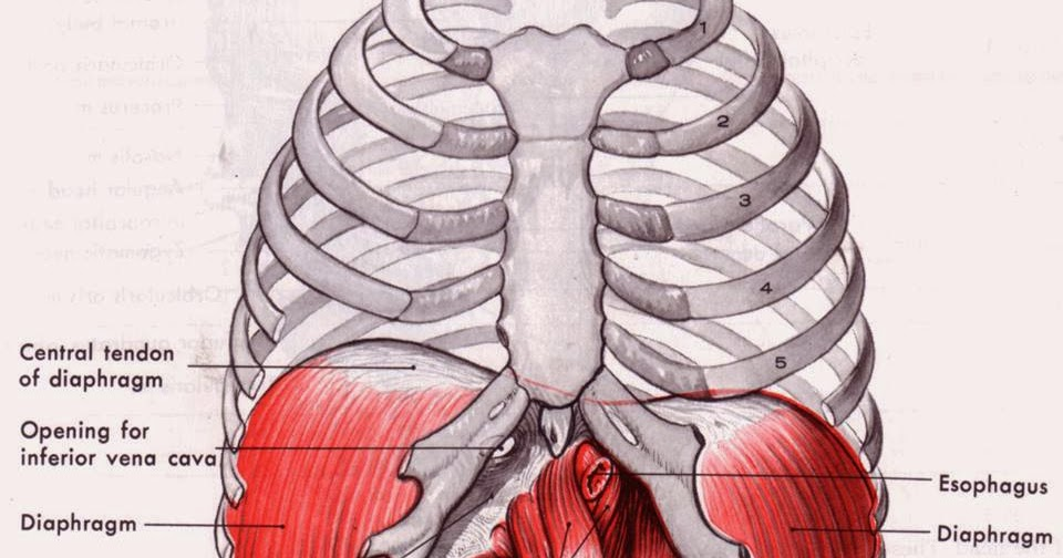 Physio Health How Does The Diaphragm Work