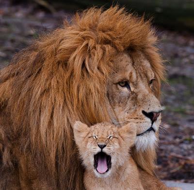 Amor de padre - Papá león - El pequeño leoncito - Lions