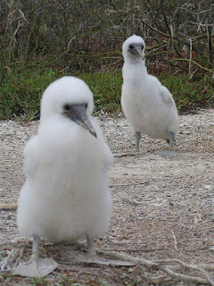 Two Fluffy Boobie Chicks Setting Off On Their Own