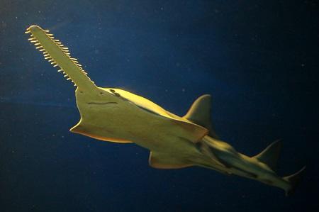 Dwarf sawfish