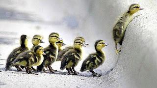 Komik hayvan resimleri ördek yavruları resimleri