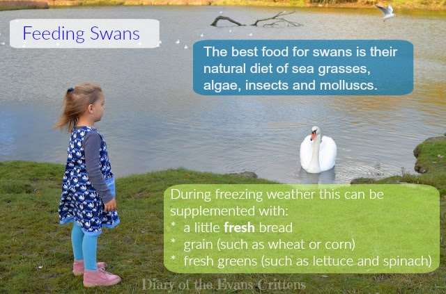What to feed swans wildlife
