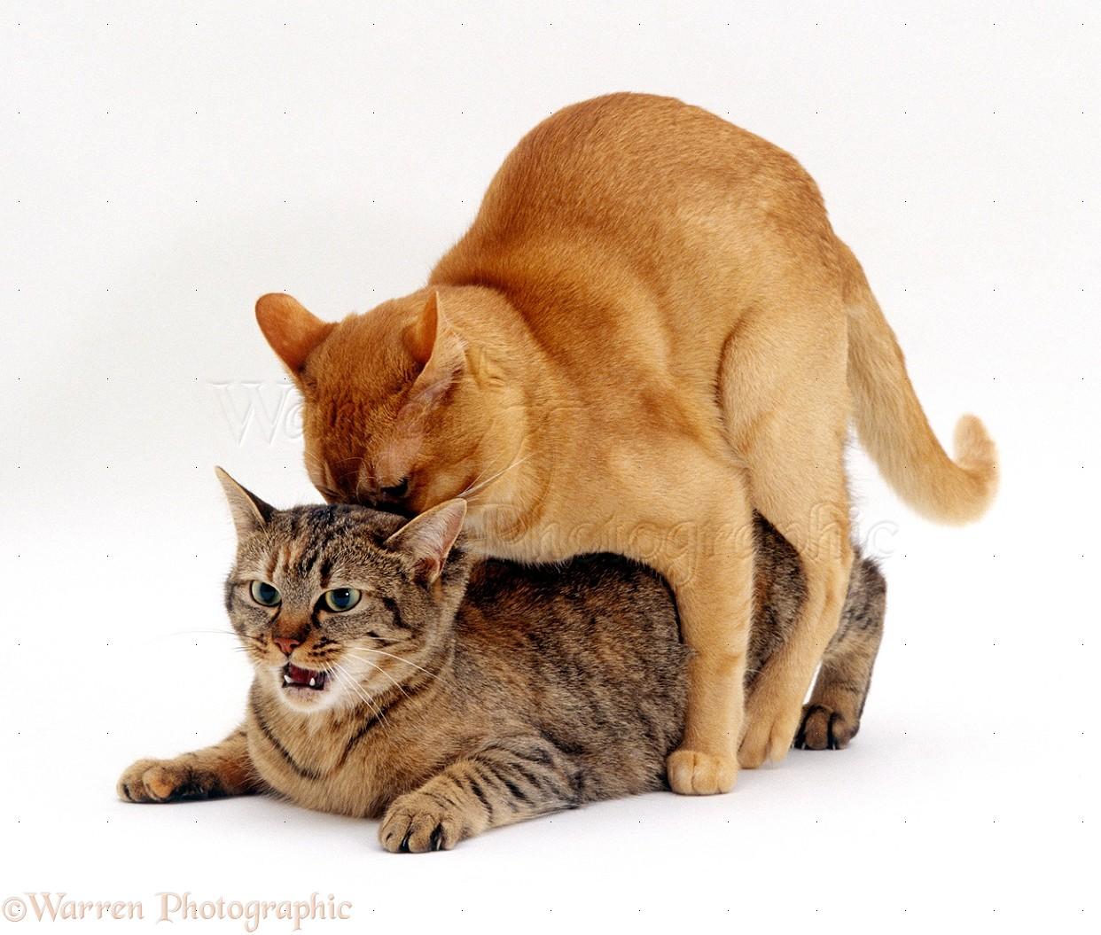 Как происходит спаривание у кошек схема
