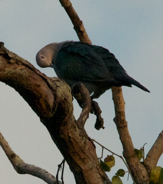 Green Imperial-pigeon (Ducula aenea)