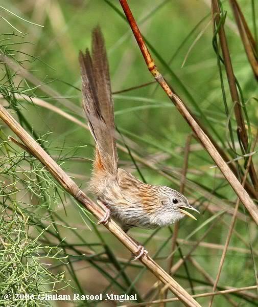 Foto Burung Ciblek Kebun Jantan
