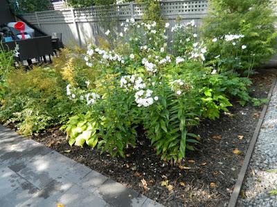 Garden muses-not another Toronto gardening blog Honorine Jobert Japanese anemone x hybrida