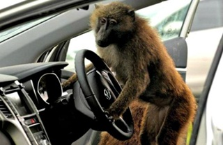 Monyet Bawa Kabur Bus Saat Sopir Tidur