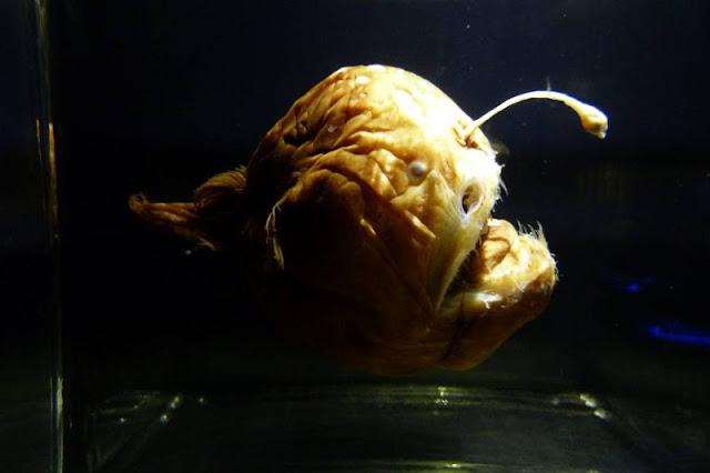 Anglerfisch in der Tiefsee-Ausstellung im Lokschuppen Rosenheim