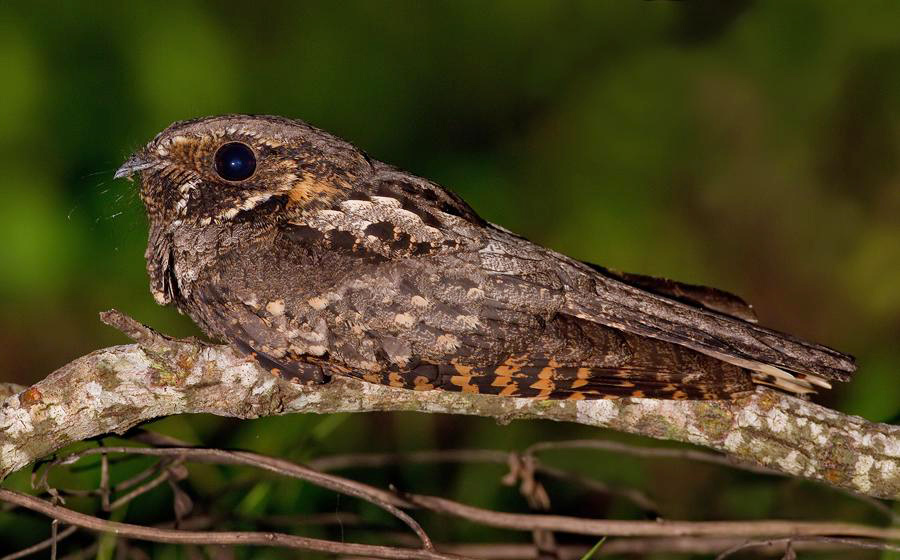 Whip Poor Will One Jackdaw Birding: V...