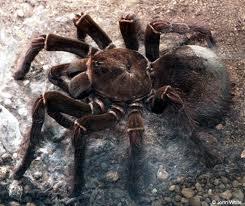 Biggest-Spider-in-the-World-4