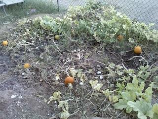drying pumpkin patch