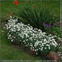 Dianthus plumarius 'Birmingham' - Goździk pierzasty pełny