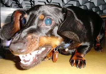 vicious dachshund