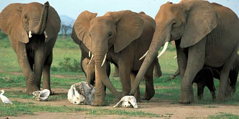 Elefanter pusler om rester af døde artsfæller