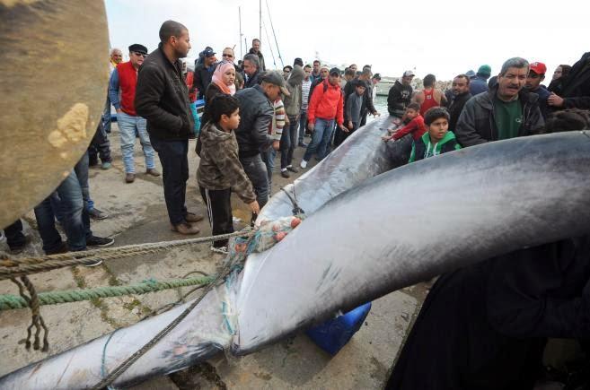 Des pêcheurs tunisiens sortent de l'eau une baleine de 10 mètres, morte dimanche 9 mars, près du port de Sidi Bou Saïd