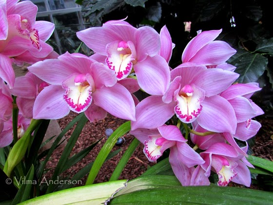 orchid flowers - pinkish