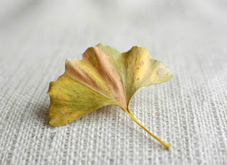 Ginkgo yellow leaf