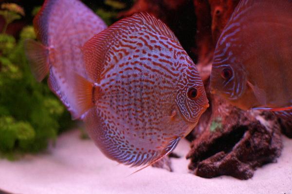أجمل 10 أسماك ملونة في عالم البحار '' بالصور '' Symphysodon2.jpg