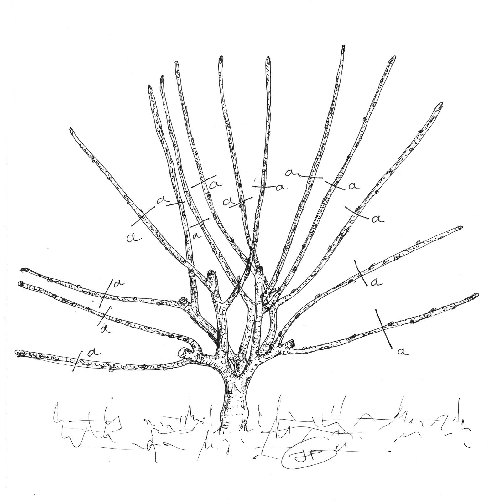 Les secrets de la taille et de la greffe des arbres fruitiers bio 10 12 14 - Taille de l abricotier en video ...