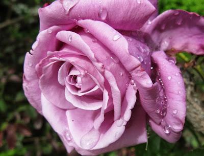 """""""Charles de Gaulle"""" rose"""