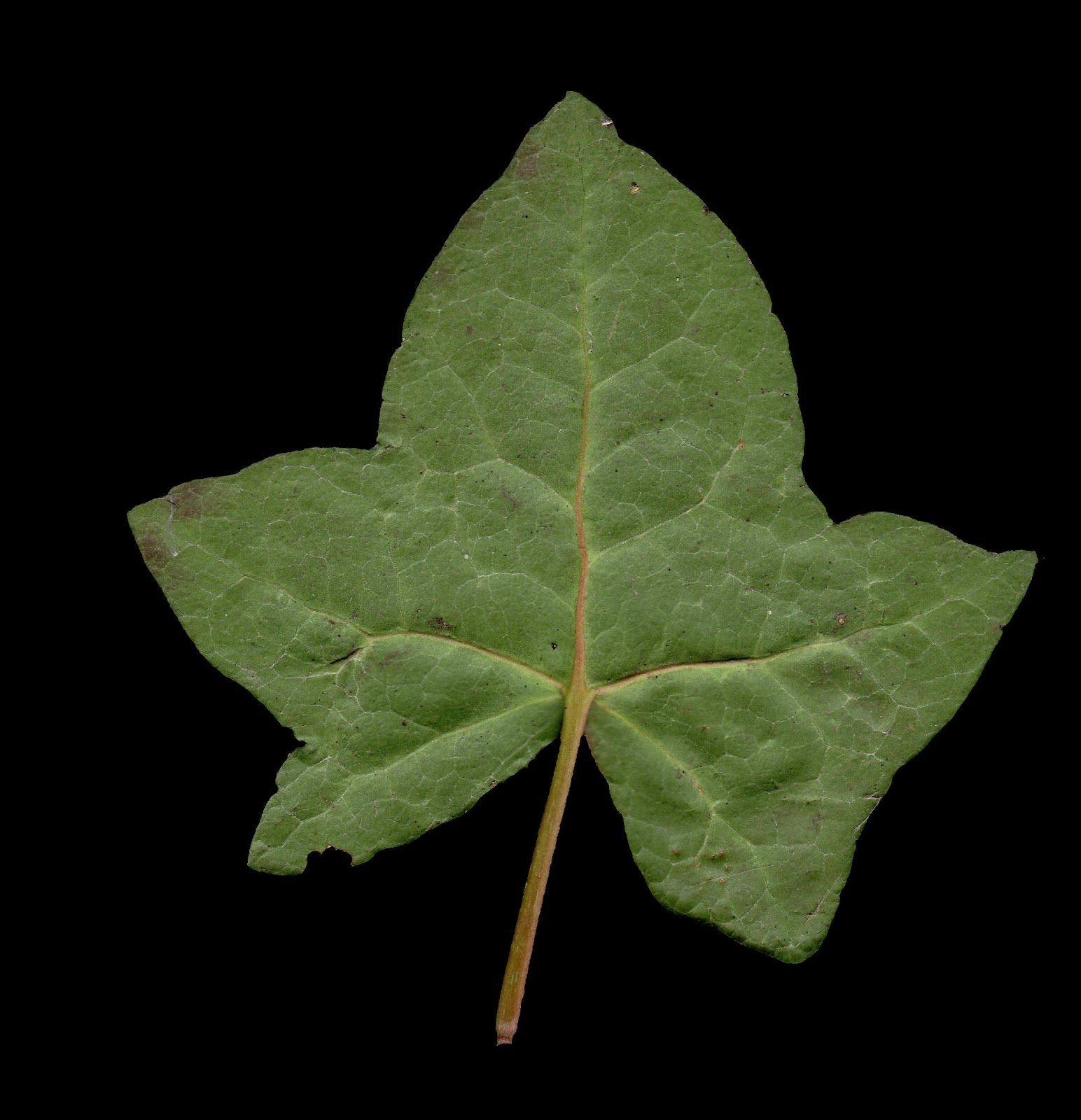 High Resolution Textures Leaf Textures