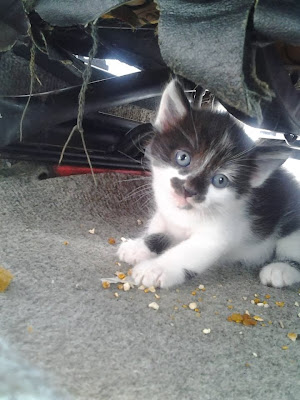 Adotta un cane a siracusa tre gattini occhi azzurri in - Cane occhi azzurri ...