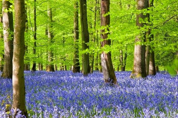 Hình ảnh đẹp hoa chuông xanh
