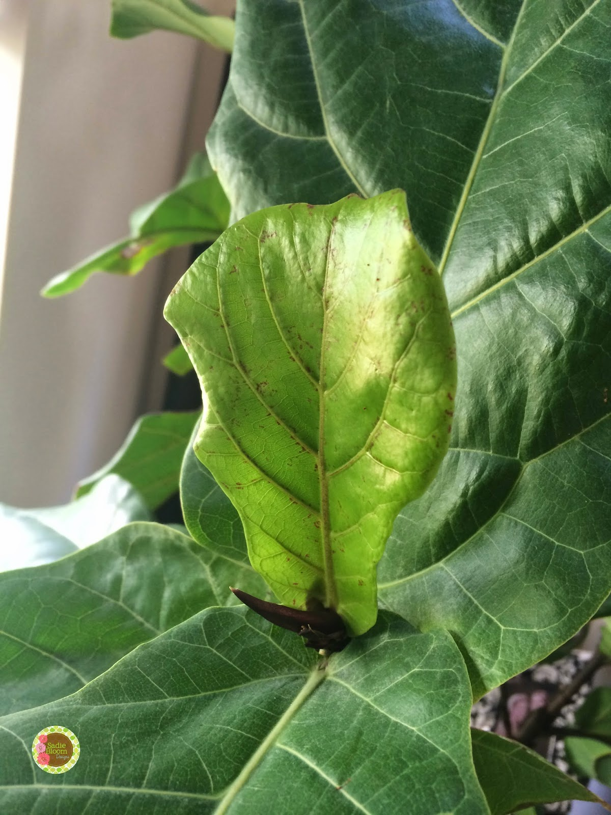 Sadie Bloom Designs Update How I Fixed My Fiddle Leaf Fig