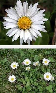 daisy herbal medicine