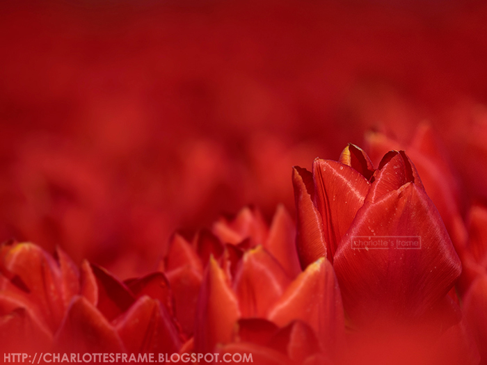 Tulip Holland, Tulpen Nederland, Tulpen foto, Tulpen Macro, Tulpen foto Holland, Tulip photo's, rode tulp, rode tulpen foto, red tulip photo,