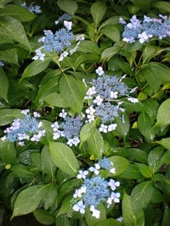 Lacecap Hydrangeas