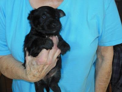 male pup #1 BLACK - Smallman