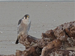 Our Peregrine Falcon at the Point