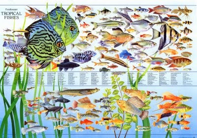 Aquaticszone List Of Freshwater Community Tropical Fish
