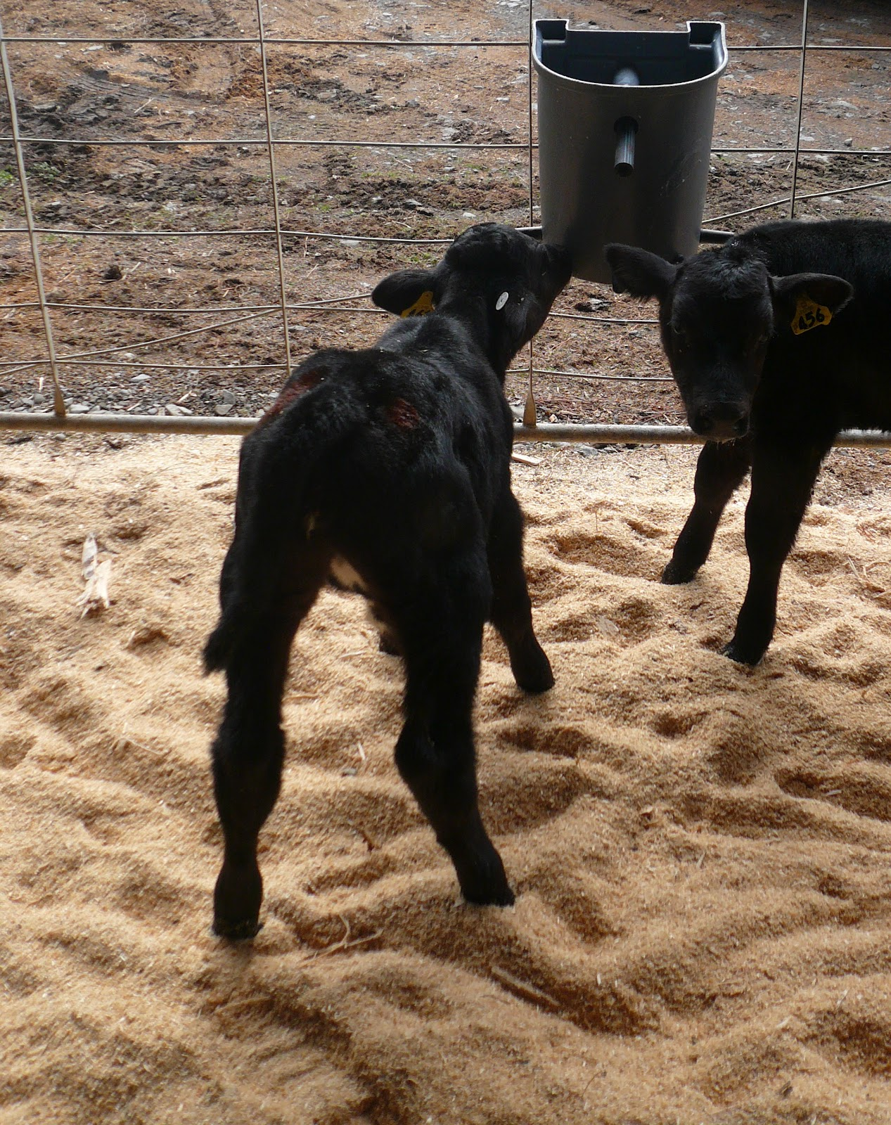 the 5 teat milk feeder used to teach smaller groups of calves to drink