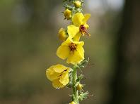 Flors de ploranera, múria o santjoans, al Coll del LLiri