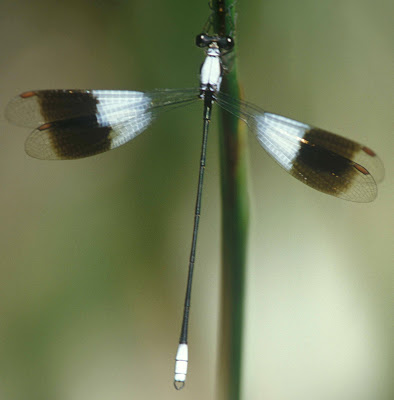 Libelula asoleada Chlorolestes apricans