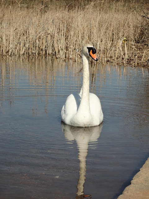 A Swan on the Blue Lagoon in Bletchley