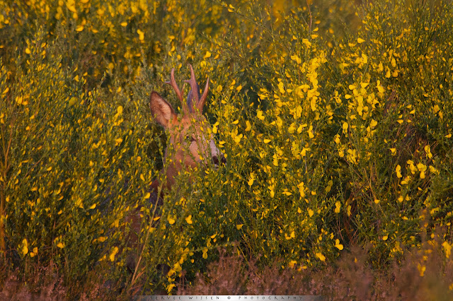 Ree in de bloeiende Brem - Roe Deer in flowering Broom