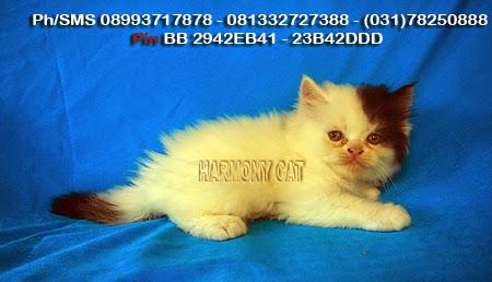 Hamster Dan Kucing Persia Murah Surabaya 07 01 2014 08