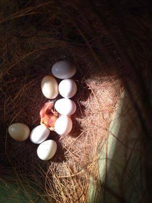 اسباب عدم تلقيح بيوض الكناري ..ونصائح هامه للحصول علي بيض كناري ملقح