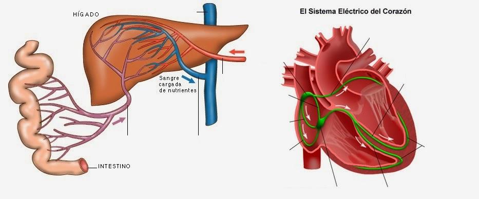 Actividad sobre la anatomía del corazón y el circulatorio ~ Técnico ...
