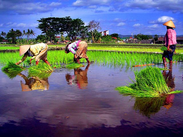 Kemarau Basah, Petani Diimbau Tanam Padi