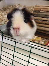 Rudy our lovable Guinea Pig!