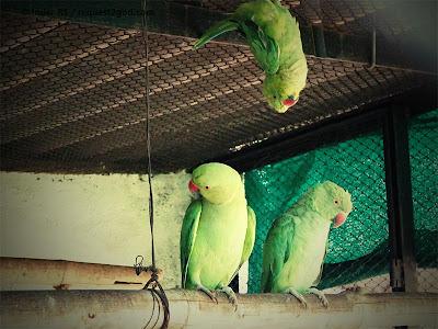 somersault by female rose ringed parakeet