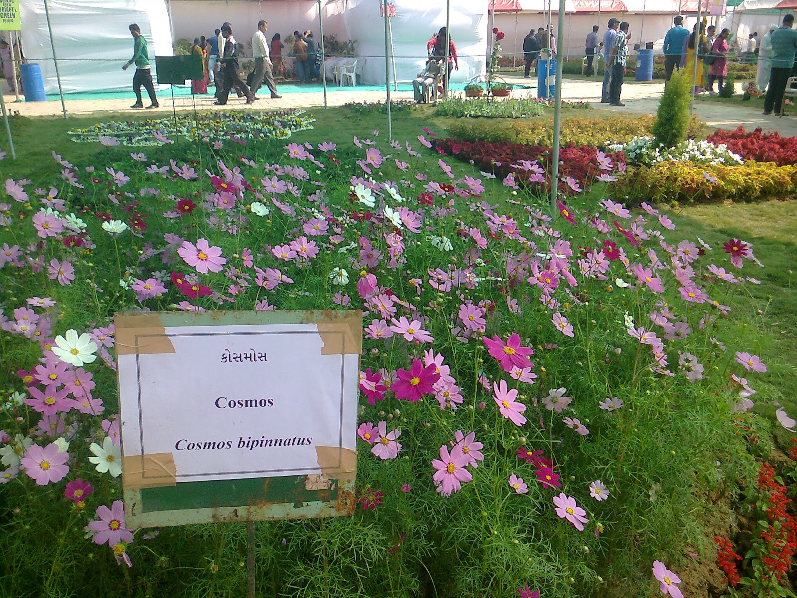 pink cosmos flower show ahmedabad
