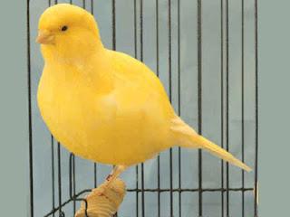 Ciri-ciri dan Karakter Burung Kenari Border.