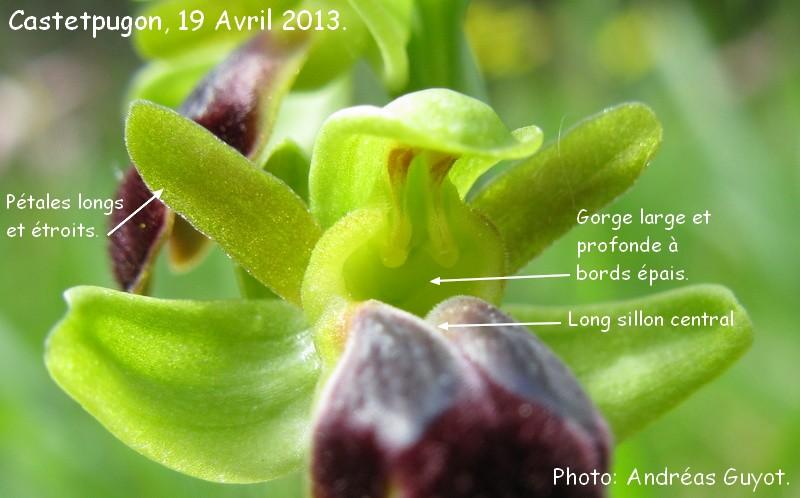 orchid es du b arn ophrys sulcata sillonn castetpugon. Black Bedroom Furniture Sets. Home Design Ideas